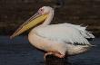Pelican ( Pelecanus)