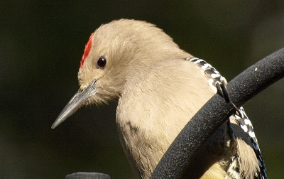 the features of the gila woodpecker Desert ecosystem: types, characteristic, structure and function of desert ecosystem types and characteristic features: one can find at least one desert on every continent except europe and.
