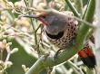 Northern Flicker Woodpecker Yellowhammer