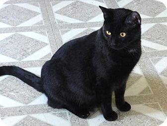 Bombay-Cat.jpg