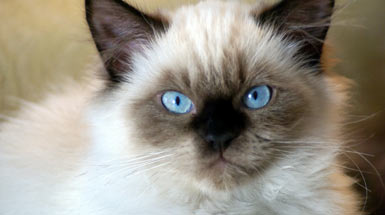 Facts about himalayan cats