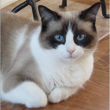 Snowshoe Cat Knowledge Base Lookseek Com