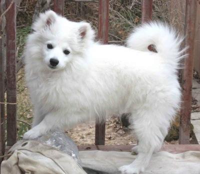 american eskimo dog knowledge base lookseek com