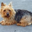 Australian Terrier Dog (Australian Dog)