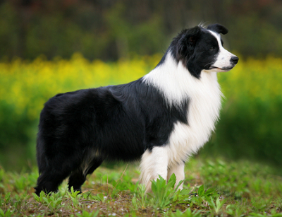 D B Farm Border Collies Border Collie Dog - Kn...