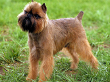 Brussel Griffon Dog