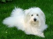Cotton de Tulear Dog