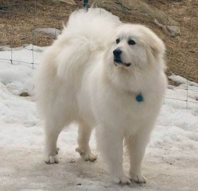 Pyrenees Dog Names The Scientific Name For Dog