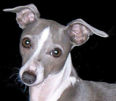 Italian Greyhound - Knowledge Base LookSeek.com