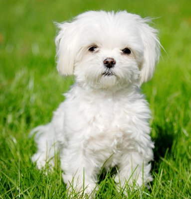 Malta canine