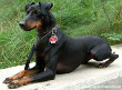 Manchester Terrier Dog (English Dog)