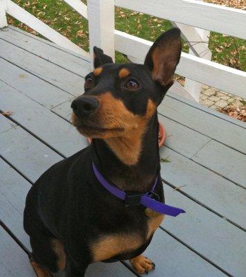 Miniature Pinscher Dog Knowledge Base Lookseekcom