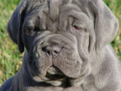 Neopolitan Mastiff Dog Knowledge Base