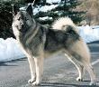 Norwegian Elkhound Dog