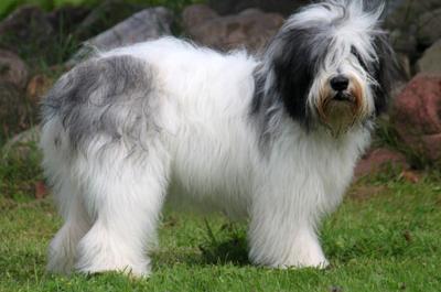 Medium Haired Dog Breeds