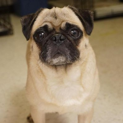 Facts About Pug Dogs Scientific Name For Dog Or Domestic Canine Is Canis Lupus Familiaris This Charismatic Little Has Been Nicknamed Dutch