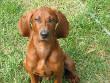 Redbone Coonhound Dog