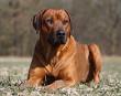 Rhodesian Ridge Back Dog