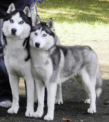 Siberian Husky Dog Knowledge Base Lookseek Com