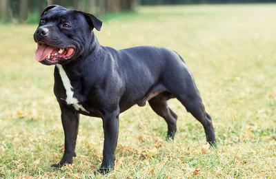 Staffordshire Bull Terrier Dog Knowledge Base Lookseek Com