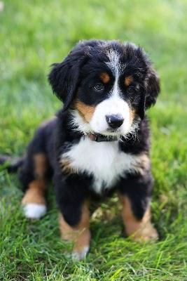 The Bernese Mountain Dog