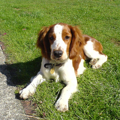 English springer spaniel anal glands where can