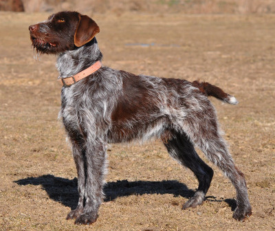 Wirehaired Point Griffon Dog