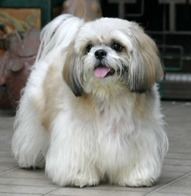 Shih Tzu Dog Knowledge Base Lookseekcom