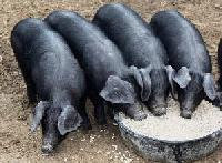 large black pig knowledge base lookseek com