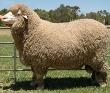Merino Sheep
