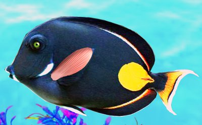 Achilles Tang Care The Achilles Tang Acanthurus