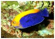African Pygmy Angelfish
