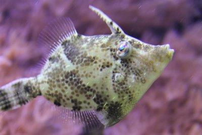 Aiptasia eating filefish knowledge base for Aiptasia eating fish
