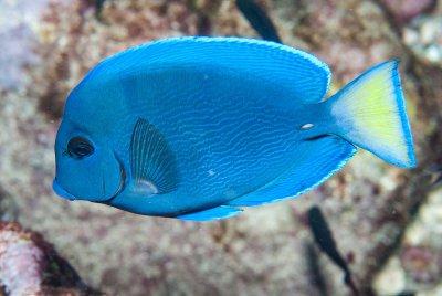 Atlantic blue tang fish knowledge base for Blue tang fish facts