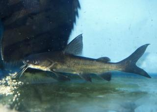 title berneys catfish arius berneyi category catfish