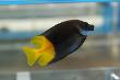 Bicolored Foxface Fish