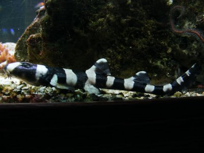 Black Banded Cat Shark - Knowledge Base LookSeek.com