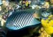 Black Spot Angelfish