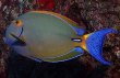 Black Spot Tang Fish