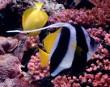 Heniochus Black and White Butterflyfish