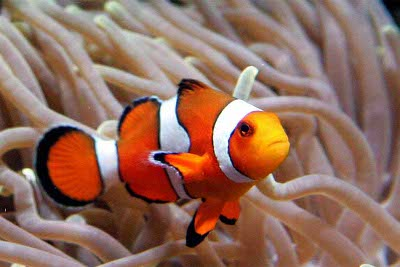 Clownfish Knowledge Base Lookseek Com
