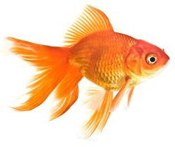 Fantail : Fantail Goldfish - Knowledge Base LookSeek.com
