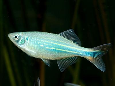 Giant danio danio malabaricus knowledge base for Giant danio fish