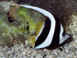 Heniochus Black and Yellow Butterflyfish