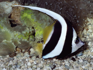 Info on striped butterfly fish have removed