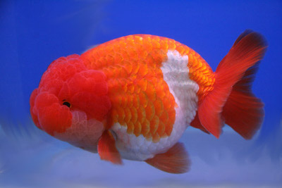 9 Colorful Facts About Goldfish  Mental Floss