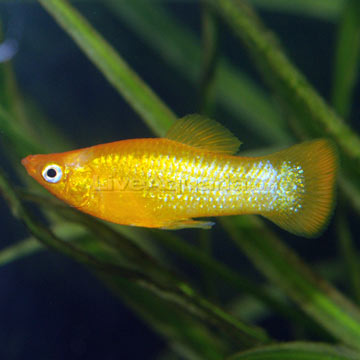 Molly poecilia sphenops knowledge base for Black molly fish