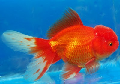 Veiltail Goldfish  Tips and Characteristics