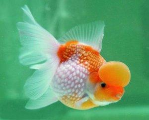 Αποτέλεσμα εικόνας για pearlscale goldfish