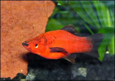 Image gallery platy varieties for Platy fish breeding